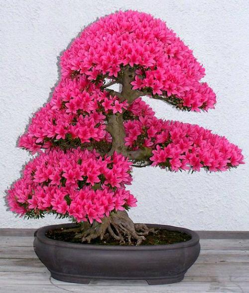 bonsai-50961